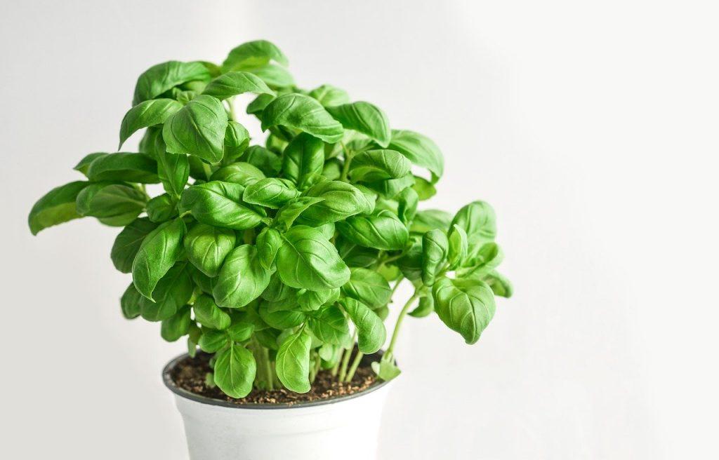 basil plant magickal plants