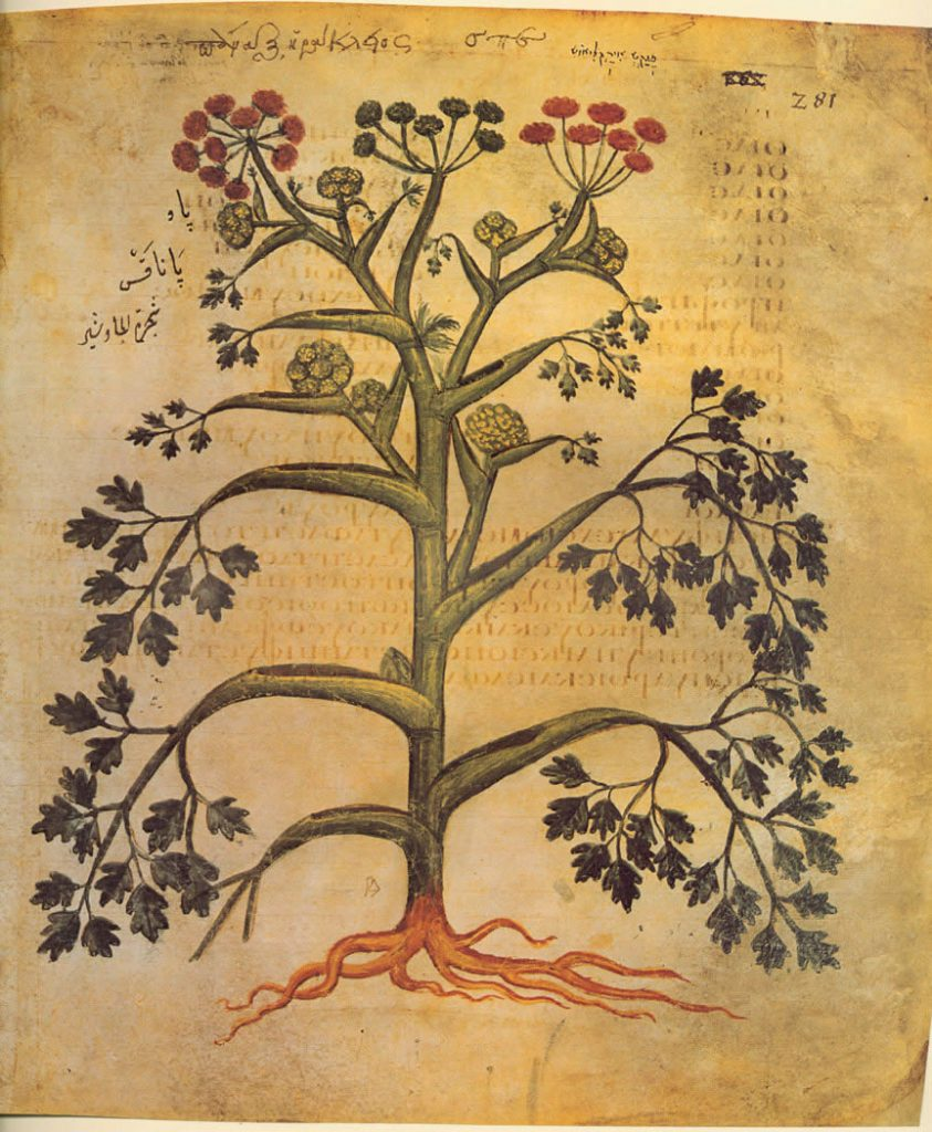 drawing by healing herb expert Dioscorides