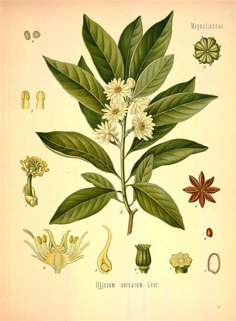 botanical drawing of Anise herbs for protection #2