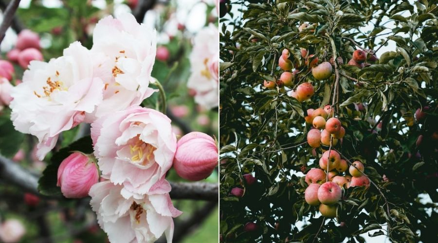 apple blossom and branch full of apples