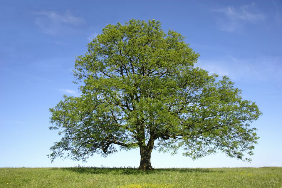 Herbs for protection #3 ash tree