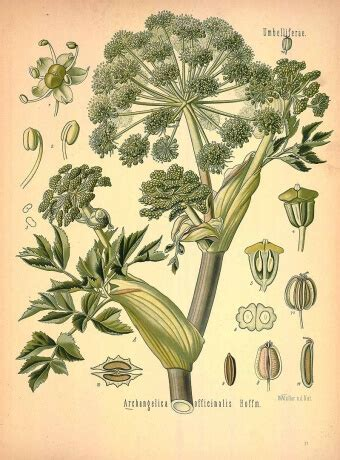 Botanical drawing of angelica a herbs for protection #1
