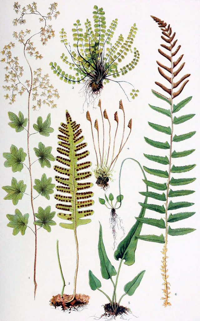 herbs for protection #6 botanical drawing of ferns