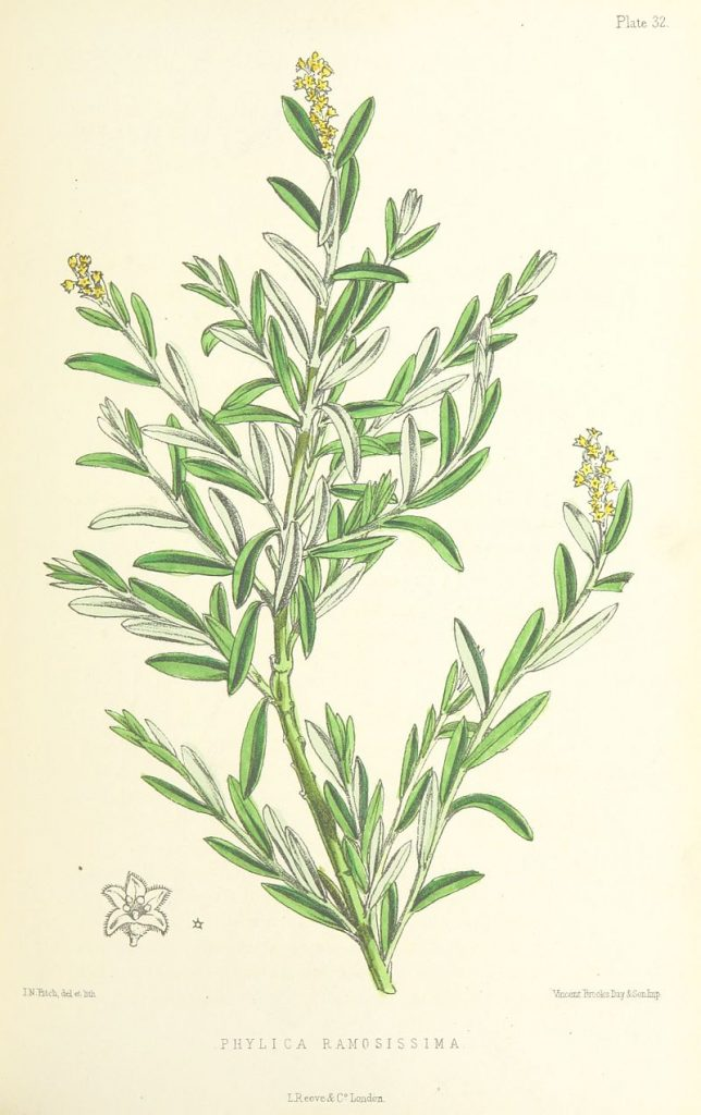 botanical drawing for herbs for protection #11 of rosemary