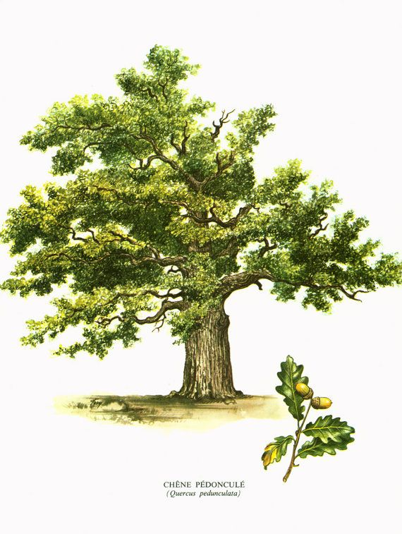 herbs for protection #10 botanical drawing oak tree