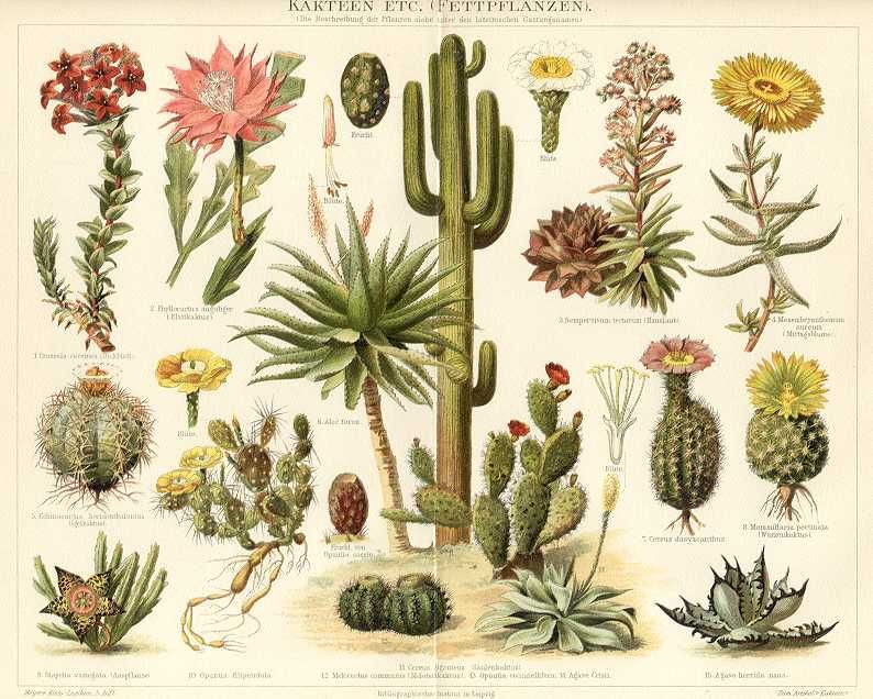 cacti botanical drawing detailing cacti that are used as herbs for protection #4