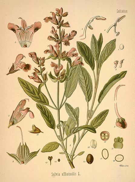 botanical drawing of herbs for protection #12 sage