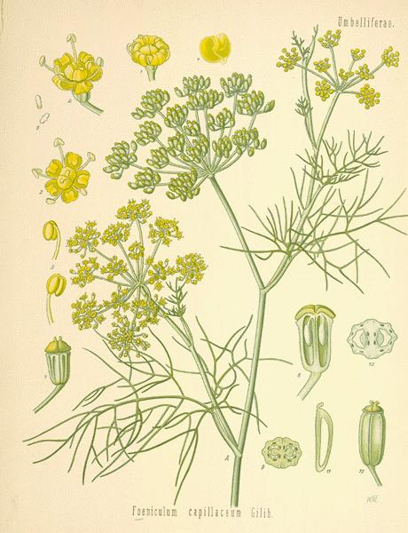 botanical drawing of fennel seeds and flowers for herbs for protection #5