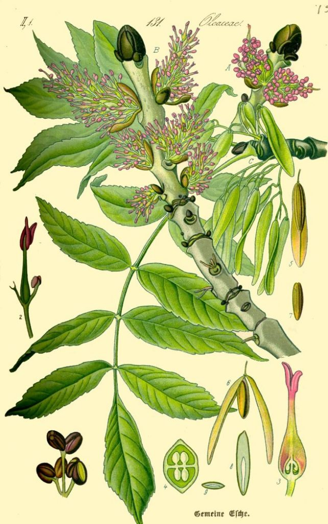 botanical drawing of herbs for protection #3 ash tree leaves and flowers