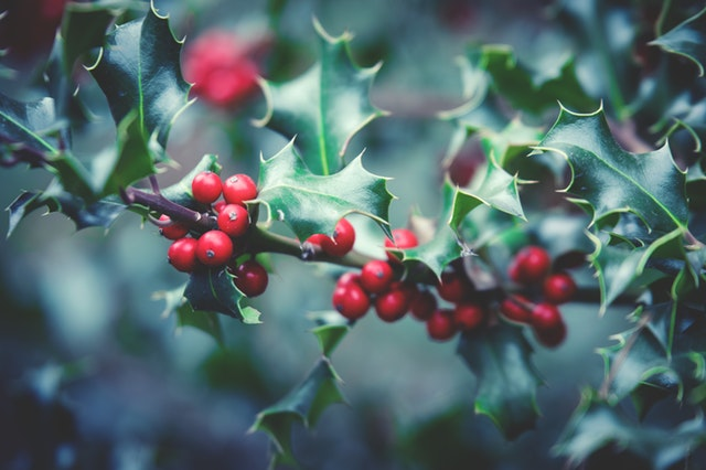 holly berries close up