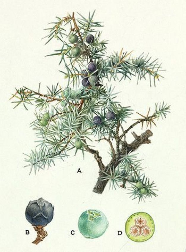 Botanical of a juniper branch included in herbs for protection #8