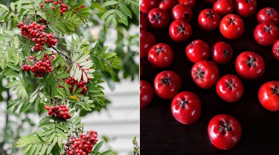 rowan tree branch and berries