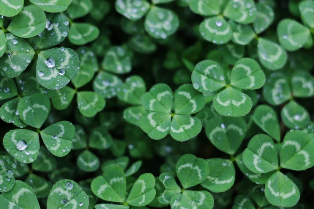 4 leaf clover hiding in the leaves