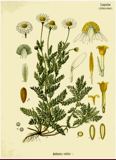 money herbs chamomile botanical drawing