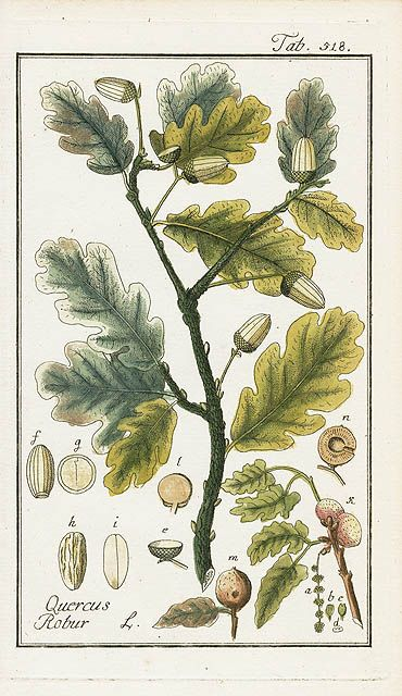 herbs for love #1 acorn botanical drawing