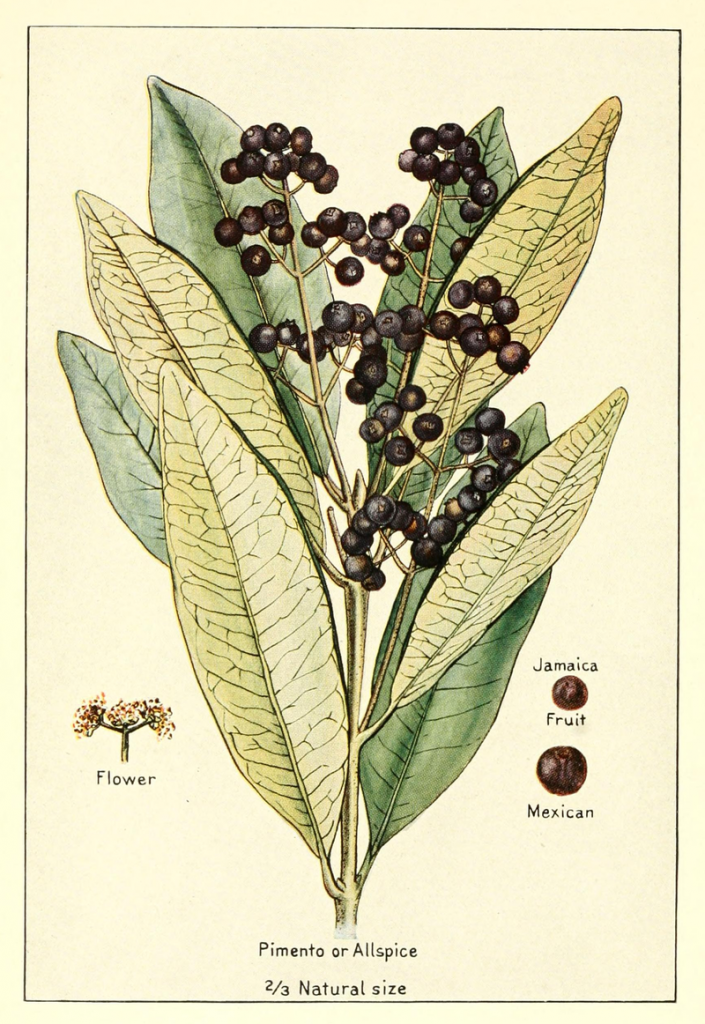 money herbs #2 all spice botanical drawing