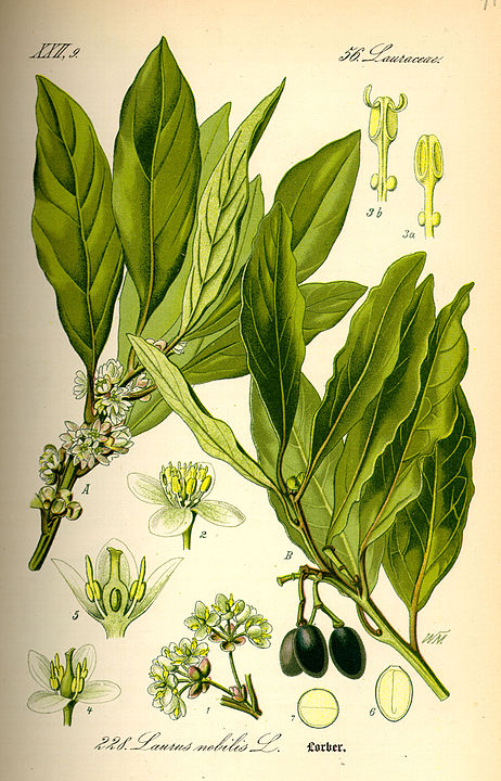 herbs for love spells bay laurel botanical illustration