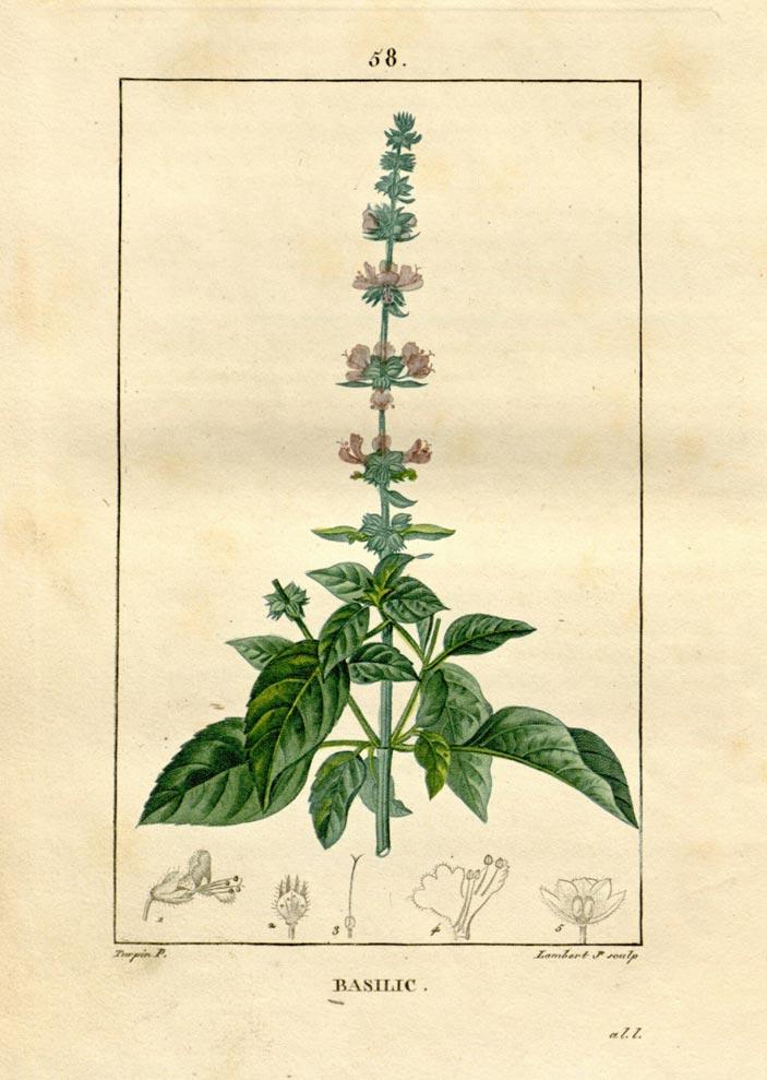 herbs for luck #2 basil botanical illustration
