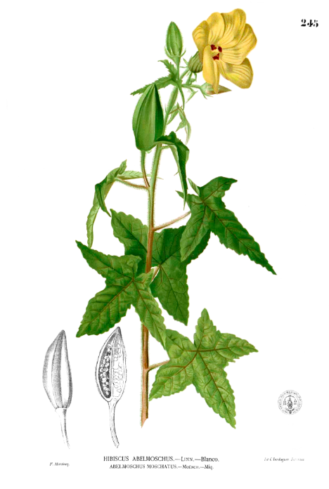 Herbs for love #5 hibiscus botanical drawing