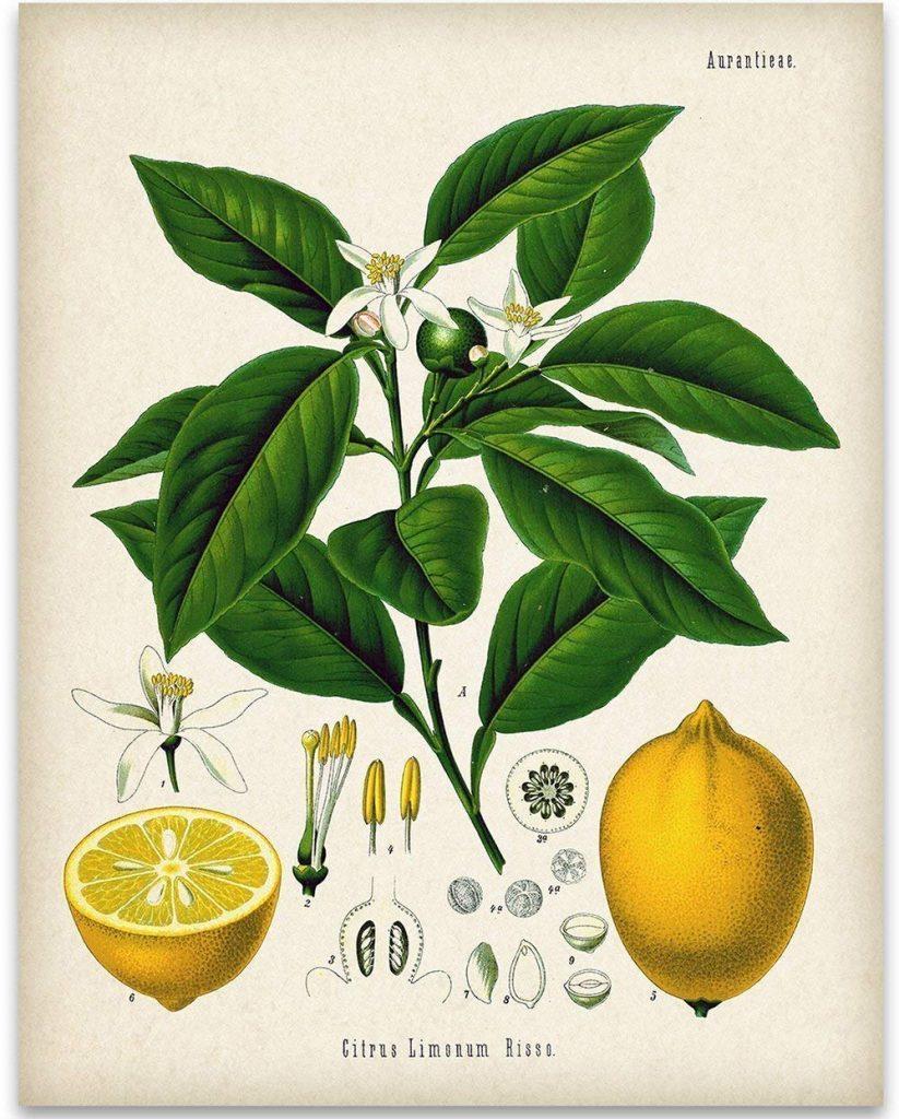 herbs for love #3 botanical drawing of lemon