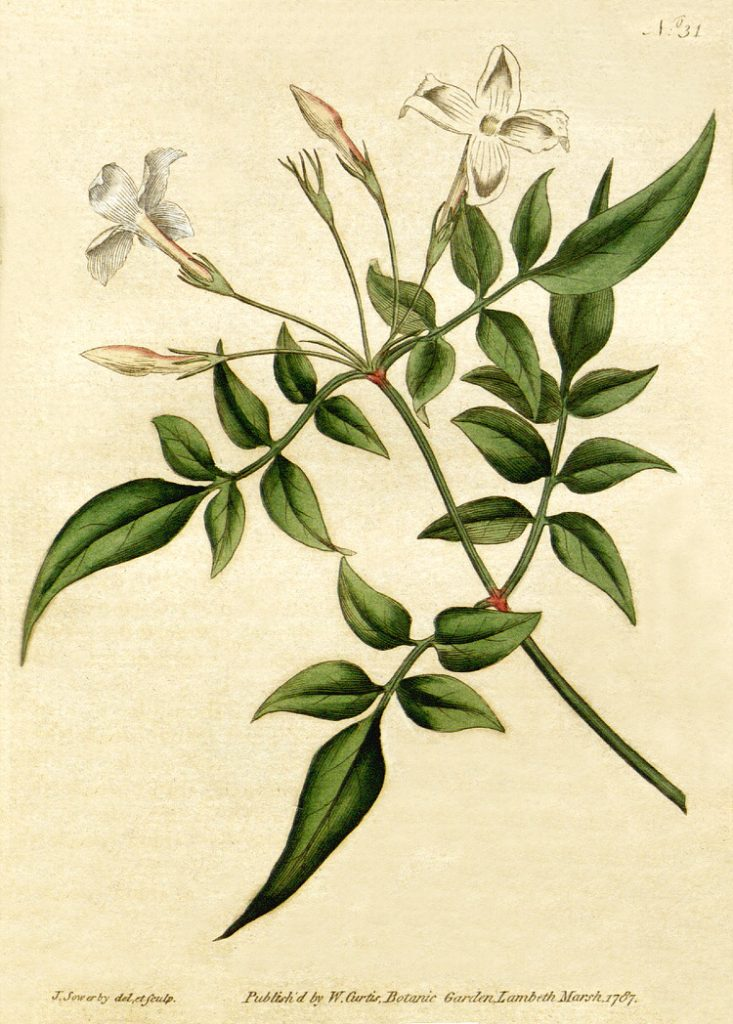botanical drawing of magical herbs for love #6 jasmine
