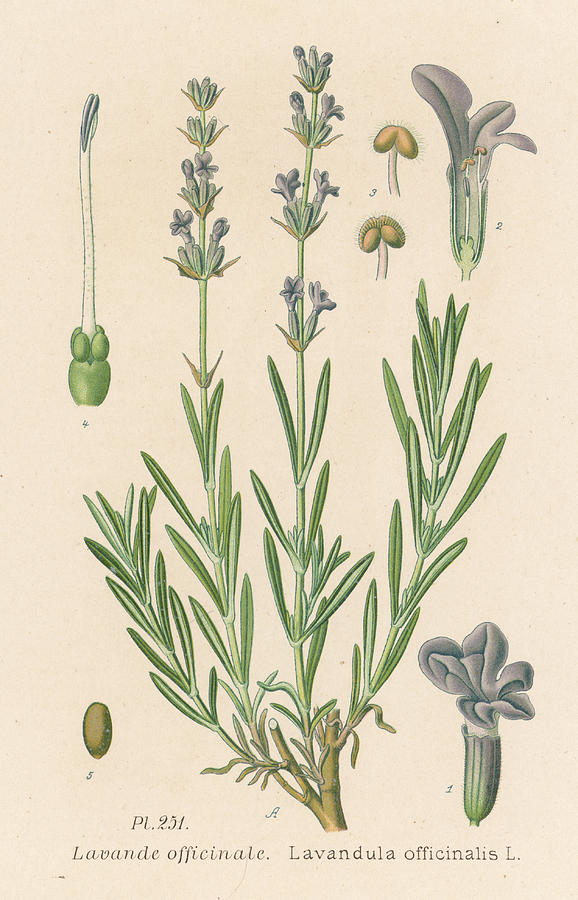 magical herbs for love #7  lavender botanical drawing