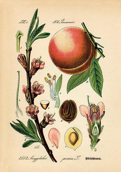 herbs for self love #6 peach botanical drawing