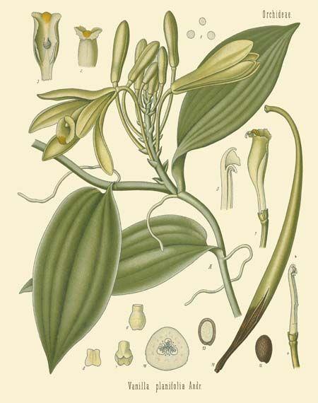 herbs for self love #7 vanilla botanical drawing