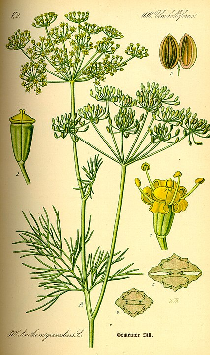 Herbs for love spells dill botanical drawing