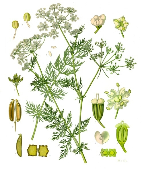 botanical drawing of herb for love #2 caraway