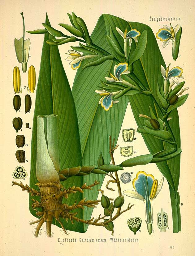 Herbs for Love Spells cardamom botanical drawing