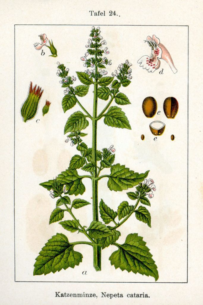 botanical drawing of herbs for love #3 catnip