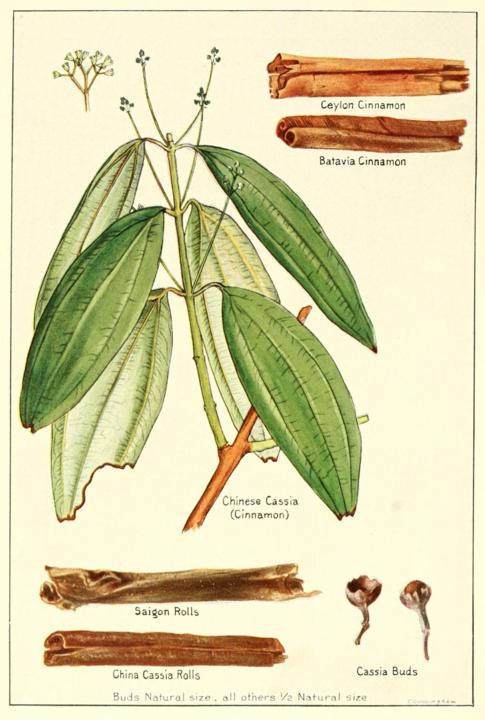 money herbs botanical drawing of cinnamon