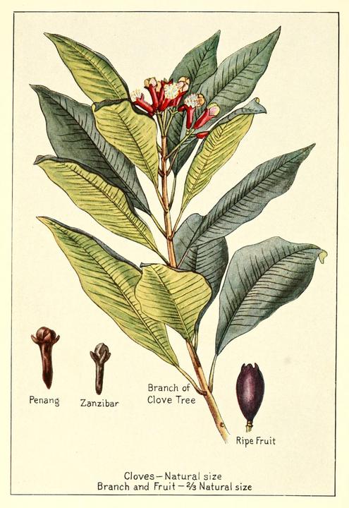 cloves botanical drawing