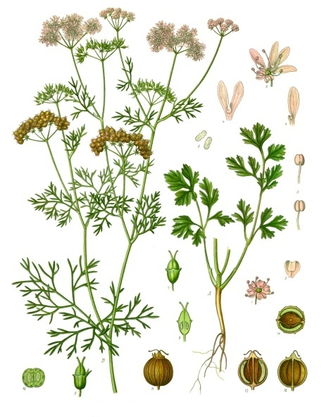 herbs for love #4 coriander botanical illustration