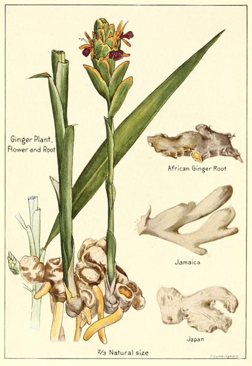ginger botanical drawing