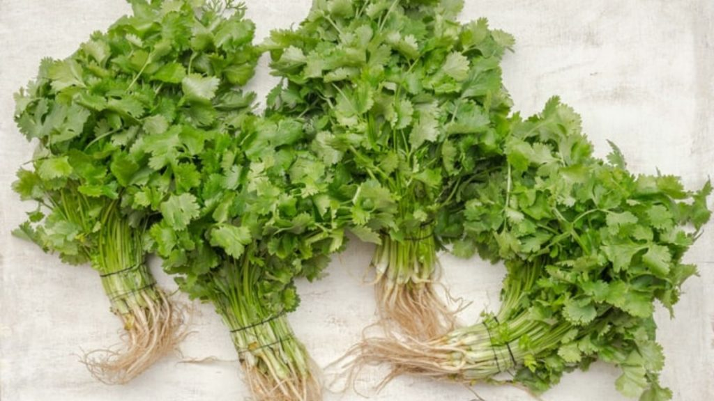 bunches of coriander