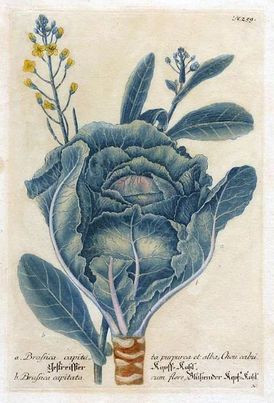herbs for luck #3 cabbage botanical illustration