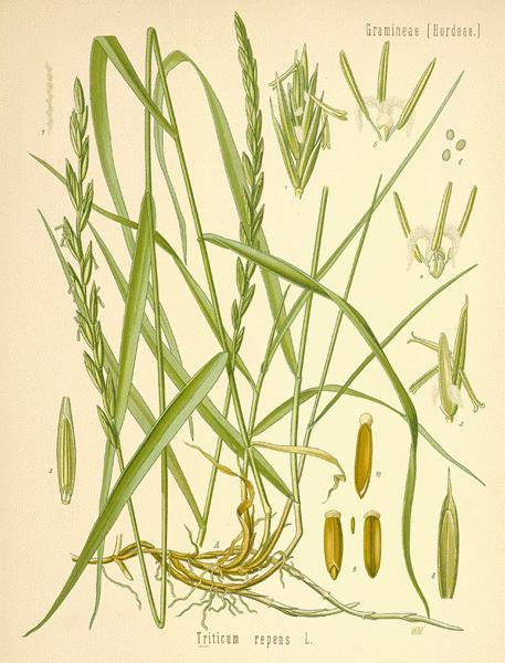 herbs for luck #5 citronella botanical illustration