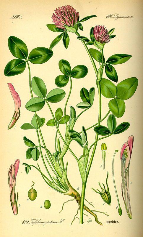 herbs for luck #6 clover botanical illustration