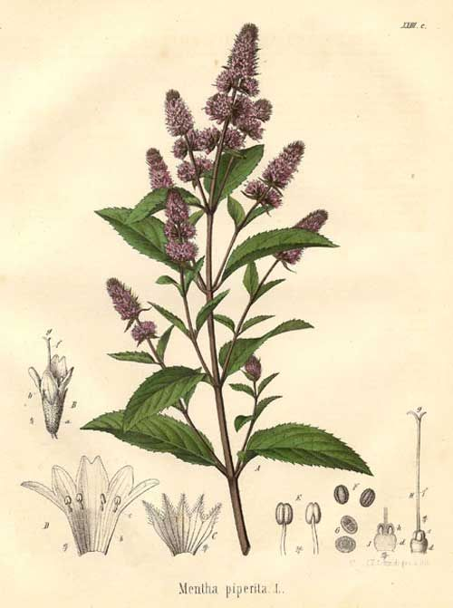 herbs for luck #10 mint botanical illustration