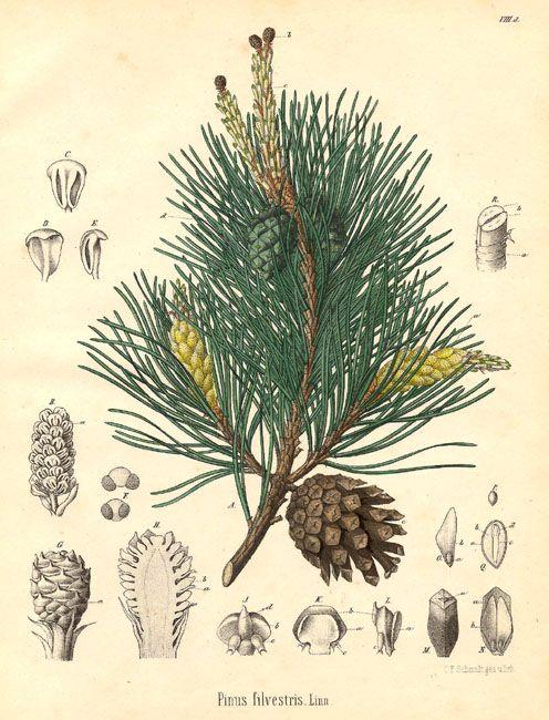 herbs for luck #12 pine botanical illustration