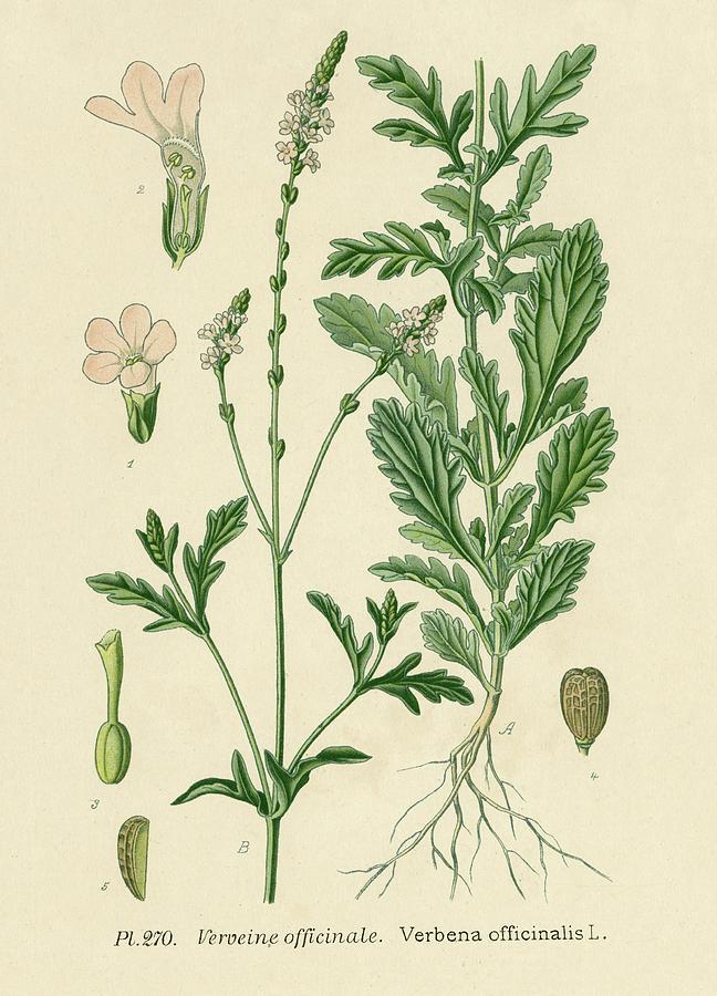 herbs for luck #13 vervain botanical illustration
