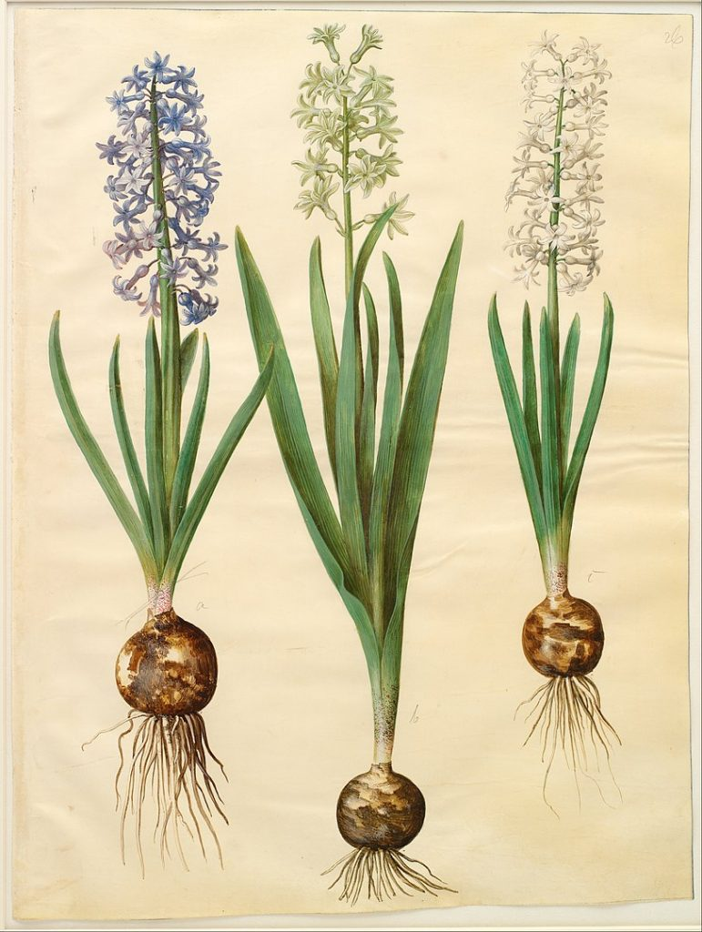 herbs for self love #1 hyacinth botanical drawing
