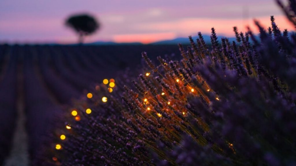 lavender field in France at twilight