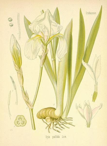 herbs for love spells orris root botanical drawing