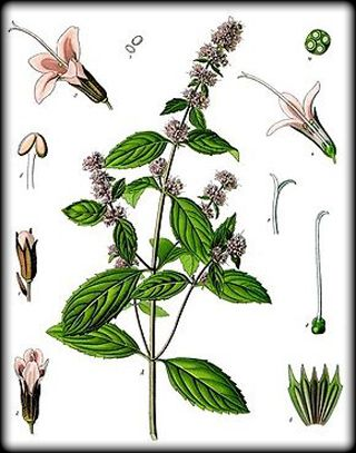 Herbs for love #8 patchouli botanical drawing