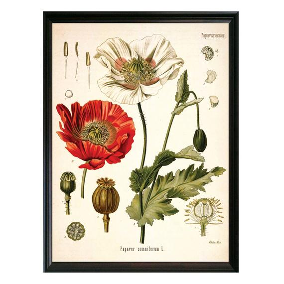 Herbs for love spells poppy botanical drawing