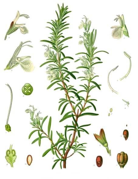 botanical illustration of rosemary