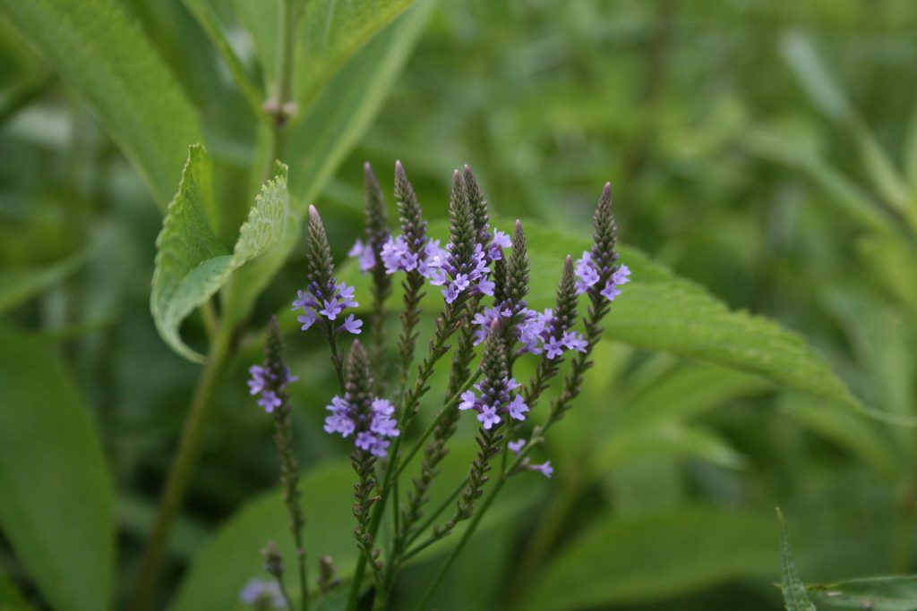 vervain plant and flowers